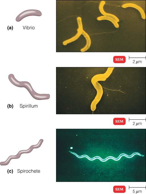 spiral-bacteria