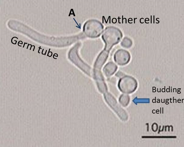 germ-tube-test-candida-albicans