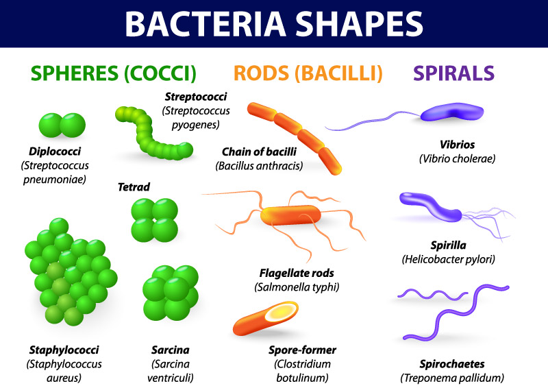 bacterial morphology lab reports Essays - largest database of quality sample essays and research papers on bacteria morphology lab report.