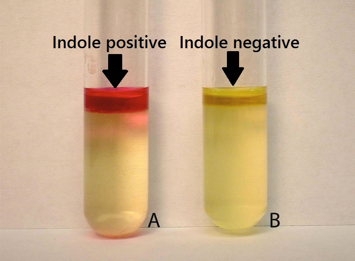 indole-test-result