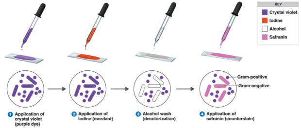 gram-stain-procedure