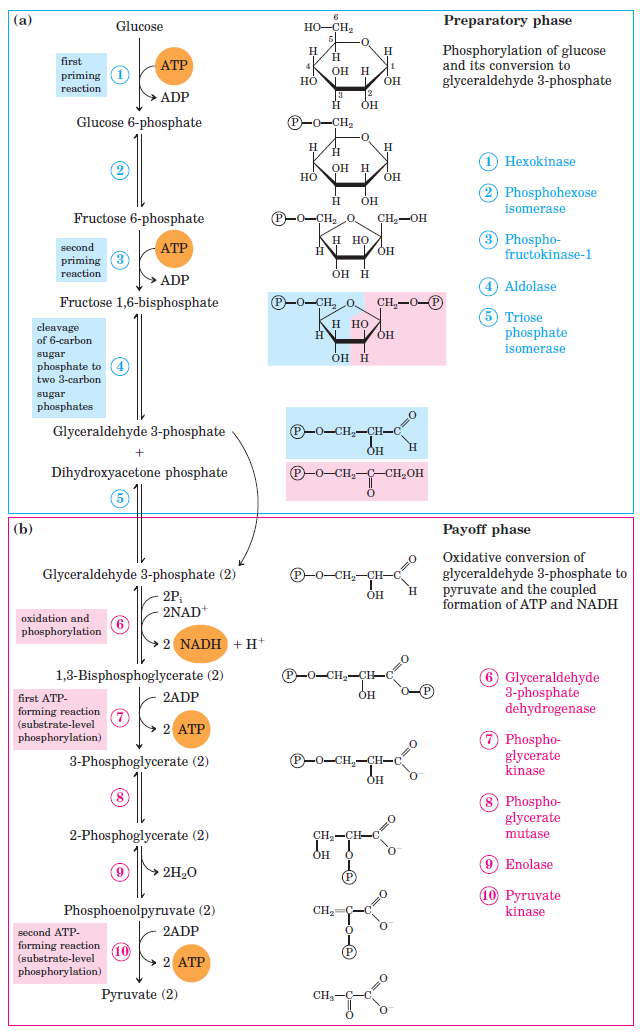 glycolysis   all steps with diagram  enzymes  products  energy    glycolysis