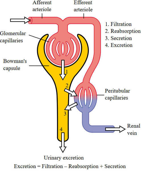 Nephron physiology, including glomerular filtration picture photo image