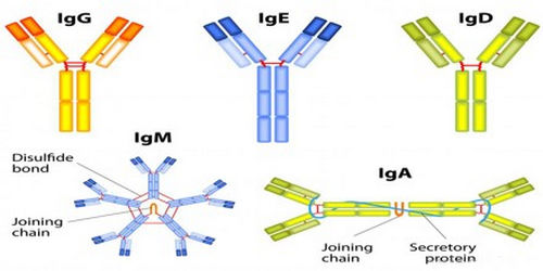 Different types of antibodies image photo picture