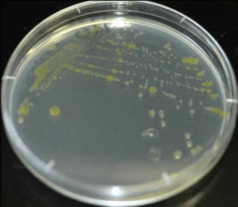 A pure bacterial isolate using the streak plate technique