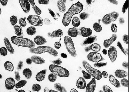 Coxiella burnetii coccobacillus bacteria image