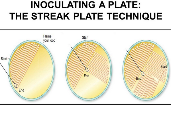 Inoculating a plate using a streak plate technique