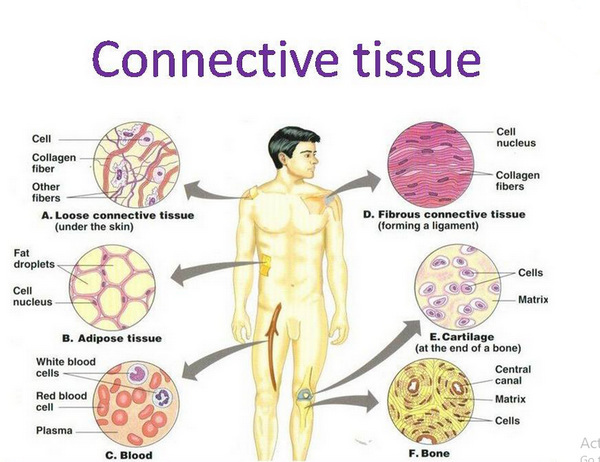 body has a lot of connective tissues