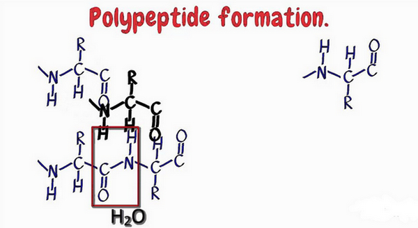 diagram shows how a polypeptide is formed