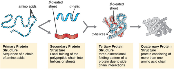 image shows the different peptide structures