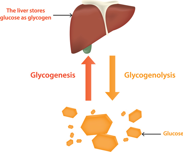 liver serves as the storage facility for glucose in the form of glycogen