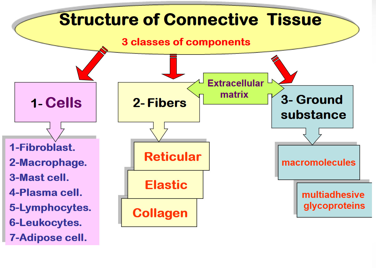 structure of connective tissue