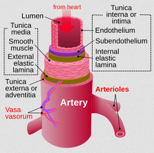 Arteries carry oxygenated blood from the heart to various parts of the body