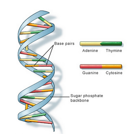 DNA is a double helix structure formed by base pair that is attached to the sugar-phosphate backbone