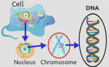 DNA is found inside the nucleus of the cell and enveloped in a chromosome