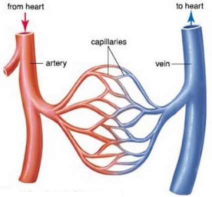 comparison image between veins and arteries