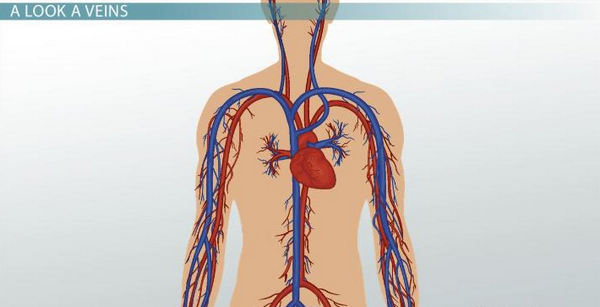 image of Veins carry deoxygenated blood from various parts of the body going back to the heart