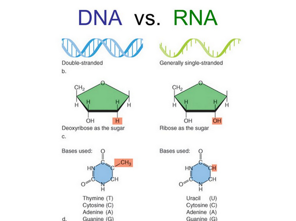 key differences between DNA and RNA