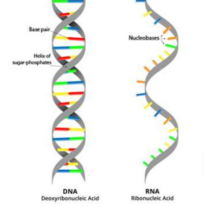 structural difference between DNA and RNA