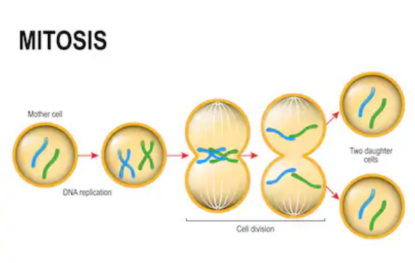 Cell division using the process of mitosis