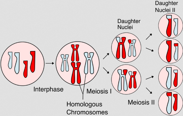 Cellular division using the process of meiosis