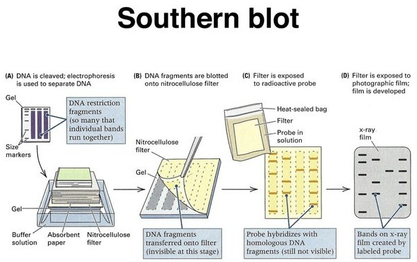 Southern blot procedure as shown in the image