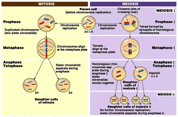 The processes involved in mitosis and meiosis