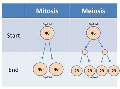 comparison of differences image between mitosis and meiosis