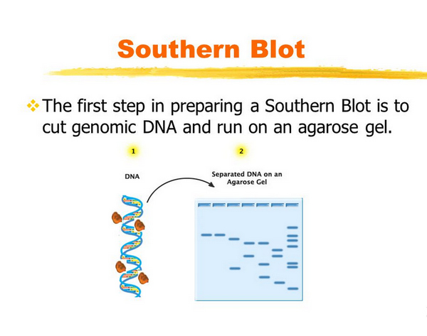 first and second step of southern blot method