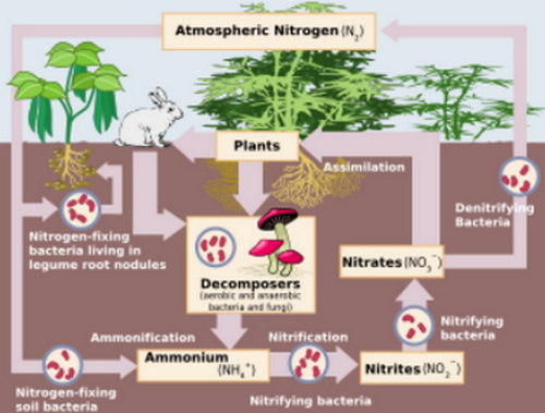 Nitrogen fixation is the first phase of the nitrogen cycle
