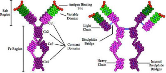 closer look at the structure of immunoglobulin E