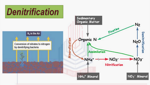 denitrification process, which is the final step in the nitrogen cycle