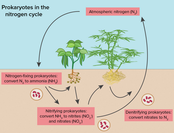 how a nitrogen cycle takes place