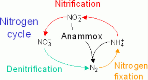 nitrification process of the nitrogen cycle