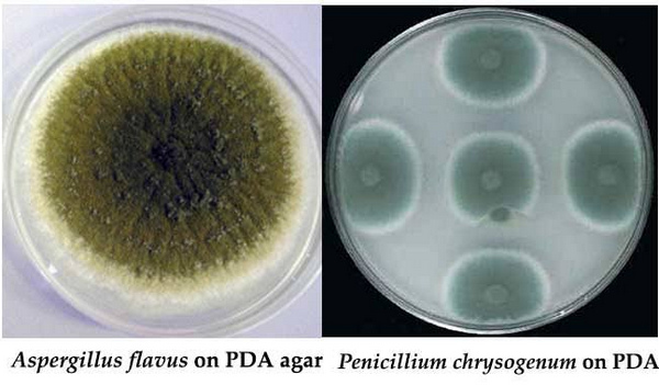 A. flavus growth on potato dextrose agar while the one on the right is P.chrysogenum