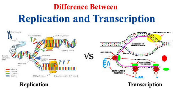 comparison image between DNA replication and transcription