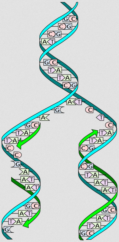 image presentation on how DNA replication takes place
