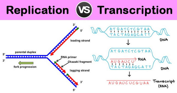 image represents how DNA replication and transcription take place