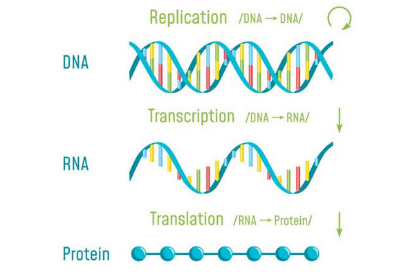 image shows how a DNA transcription takes place