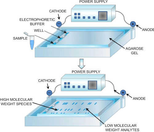 image above shows how an agarose gel electrophoresis is performed