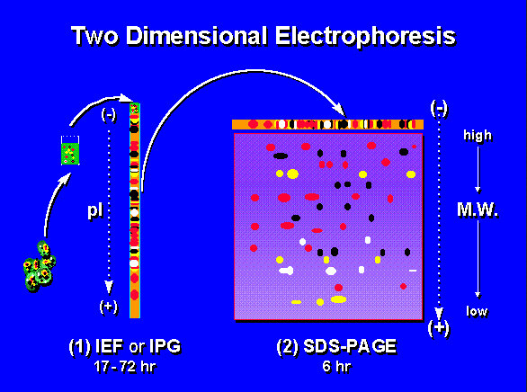 image representation of two-dimensional electrophoresis