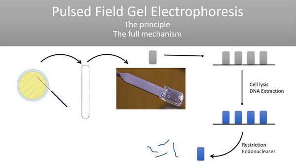 principle of pulse-field gel electrophoresis as shown in the image